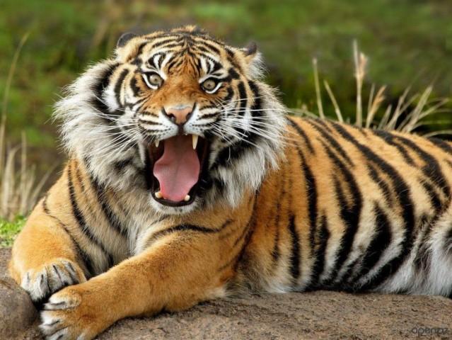 34 интересных факта о тиграх, после которых вы полюбите этих потрясающих животных
