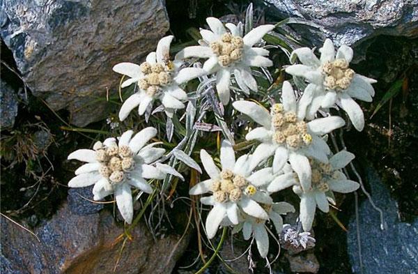 Факты о цветке «эдельвейс»