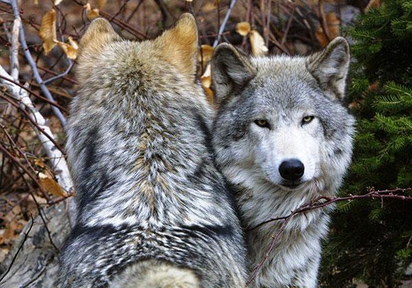 Цитаты про волков и волчиц