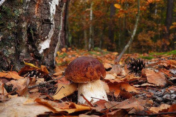 Деревья, под которыми растут грибы