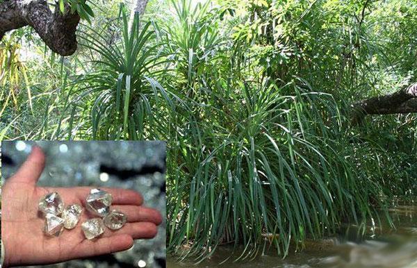 Растение, которое растет только около бриллиантов