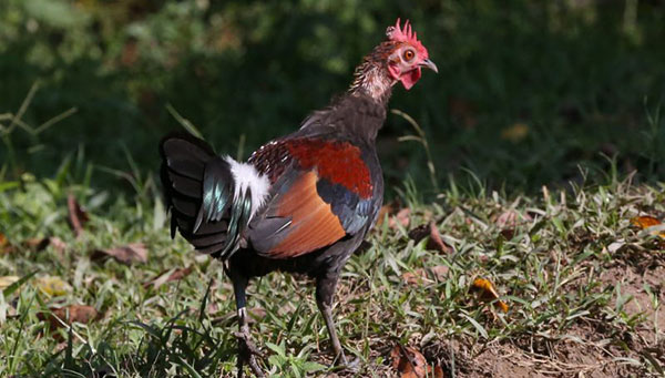 Курица стала популярной из-за средневековых религиозных запретов