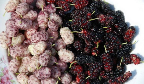 плоды шелковицы полезные свойства